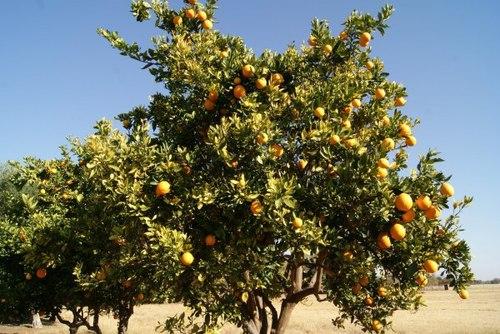 Árvore de Marula